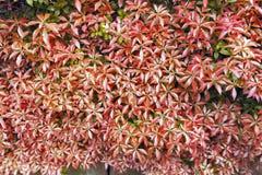 Czerwony glansowany ulistnienie opuszcza w ogródu botanicznego tła teksturze Zdjęcie Royalty Free