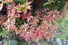 Czerwony glansowany ulistnienie opuszcza w ogródu botanicznego tła teksturze Zdjęcie Stock