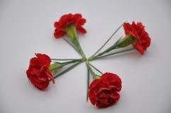 Czerwony goździk Rewolucjonistka kwitnie z białym tłem Dianthus Caryophyllus Obraz Royalty Free