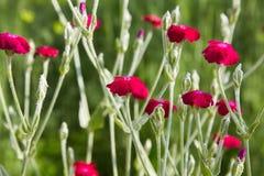 Czerwony goździka kwiat w ogródzie obraz royalty free
