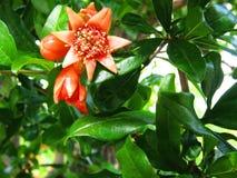 Czerwony granatowa kwiat otwarty Obraz Stock