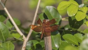 Czerwony Grasshawk dragonfly na drewnianym kiju Zdjęcie Royalty Free