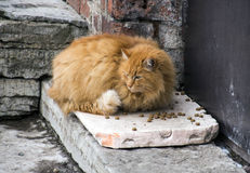 Czerwony gruby kot Zdjęcie Stock
