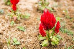 Czerwony grzebionatka kwiat obrazy royalty free
