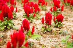 Czerwony grzebionatka kwiat zdjęcia stock