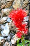 Czerwony grzebionatka kwiat Obraz Royalty Free