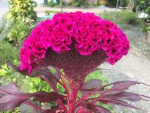 Czerwony grzebionatki lub dzioborożec kwiat obraz stock