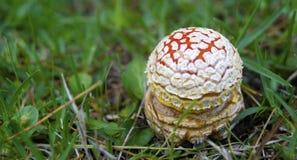 Czerwony grzyb Fotografia Royalty Free