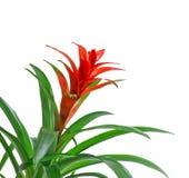 Czerwony Guzmania kwiat, biały tło, zakończenie up Rodzinny Bromeliaceae, podrodzina Tillandsioideae Zdjęcie Stock