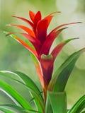 Czerwony Guzmania kwiat, zielony tło, zakończenie up Rodzinny Bromeliaceae, podrodzina Tillandsioideae Fotografia Stock