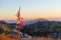 Czerwony halny kwiat obrazy royalty free