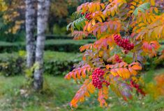 Czerwony halny popiół z kolorem żółtym opuszcza w jesieni w miasto parku Obraz Stock