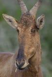 Czerwony Hartebeest portret, Addo słonia park narodowy Zdjęcie Royalty Free