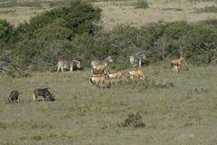 Czerwony Hartebeest, zebra i Wildebeest, Południowa Afryka Fotografia Stock