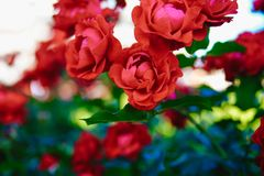Czerwony herbaty róży kwiat Obraz Stock
