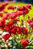 Czerwony herbaty róży kwiat Fotografia Royalty Free