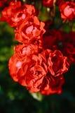 Czerwony herbaty róży kwiat Zdjęcie Stock