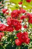 Czerwony herbaty róży kwiat Obrazy Stock
