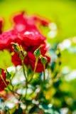 Czerwony herbaty róży kwiat Zdjęcia Royalty Free