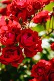 Czerwony herbaty róży kwiat Zdjęcie Royalty Free