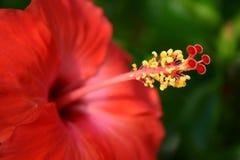 czerwony hibiskus Zdjęcia Stock