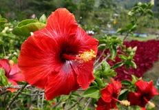 czerwony hibiskus Zdjęcie Stock