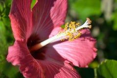 czerwony hibiskus Fotografia Royalty Free