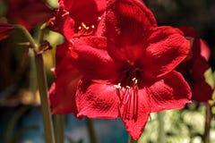 Czerwony Hippeastrum Amaryllis hybrydowy kwiat Zdjęcia Stock