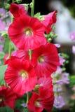 Czerwony Hollyhock lub ślaz. Fotografia Stock