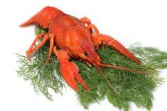 Czerwony homar zdjęcie royalty free