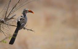 Czerwony Hornbil w Kruger parku Obraz Royalty Free