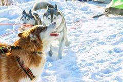 Czerwony husky na smyczu nicielnicy wycie obrazy royalty free
