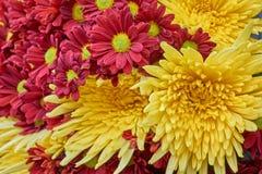 Czerwony i żółty chryzantemy zbliżenie Obraz Stock