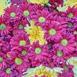 Czerwony i żółty chryzantemy zbliżenie Fotografia Stock