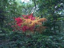 Czerwony i żółty drzewo Zdjęcie Stock
