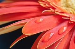 Czerwony i żółty Gerbera kwiatu zakończenie up nad czarnym tłem Fotografia Stock