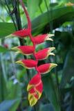 Czerwony i żółty heliconia kwiat, Singapur Obrazy Stock