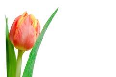 Czerwony i żółty tulipan Fotografia Royalty Free