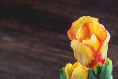 Czerwony i żółty tulipan na ciemnym drewnianym tle Wiosen holadays pocztówki pojęcie Fotografia Royalty Free