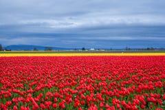 Czerwony i żółty tulipanu pole w chmurnym dniu Zdjęcia Stock
