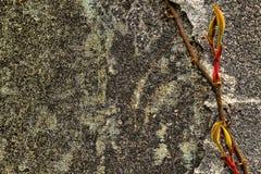 Czerwony i żółty winograd, r na stronie betonowa ściana obrazy royalty free