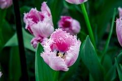 Czerwony i biały tulipan od Holandia obrazy royalty free