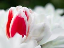 Czerwony i biały tulipan w Kaukenhof ogródzie botanicznym, Holandia obraz stock