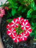 Czerwony i biały kwiat zdjęcie stock