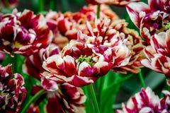 Czerwony i biały tulipan od Holandia Zdjęcie Royalty Free