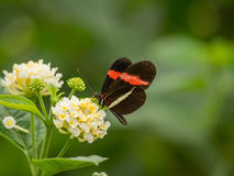 Czerwony i czarny motyl na kwiacie Fotografia Royalty Free