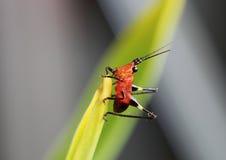 Czerwony i czarny pasikonika tyczenie na liściu Obraz Royalty Free