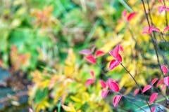 Czerwony i kolorowy liść gałąź zakończenie up Jesień liścia koloru zjawiska afektów zieleni liście normalnie biorą na różnorodnym obraz royalty free