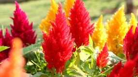 Czerwony i Pomarańczowy grzebionatka kwiat Kolor żółty, plumed zdjęcie stock