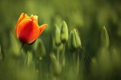 Czerwony i pomarańczowy tulipanowy kwiat, czerwony piękny tulipanu pole w wiosna czasie z światłem słonecznym, kwiecisty tło, ogr Zdjęcia Stock